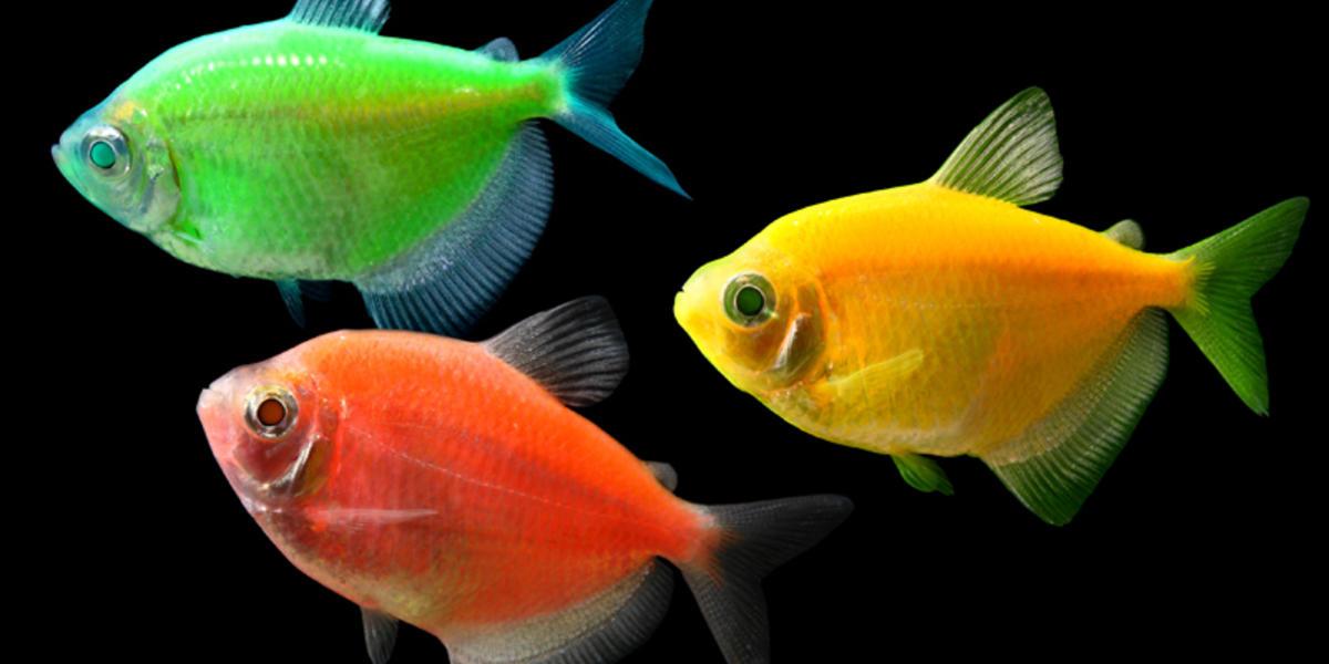 Gentechnik bei fischen vor allem zum spa gentechnik for Welche fische passen zu kois