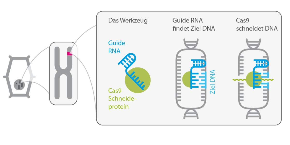 Die neue Gen-Revolution: Was man zu CRISPR/Cas wissen sollte ...