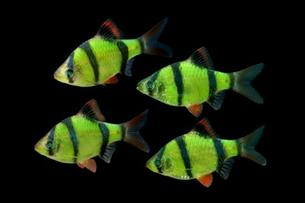 Glofish electric green Barben