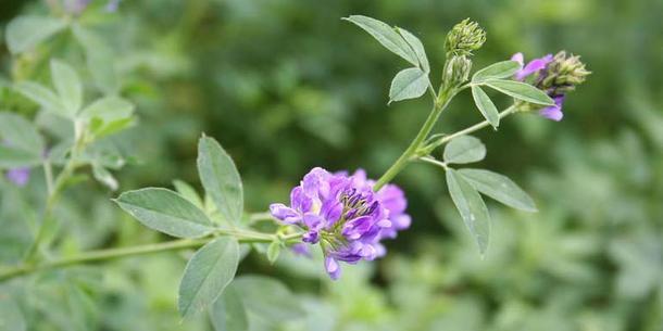 Fabelhaft Luzerne (Alfalfa) | transGEN Datenbank - Pflanzen - transgen.de @RT_83