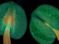 Arabidopsis Antheren