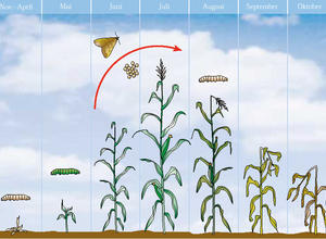 folgen des maiszuenslerbefalls