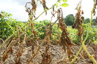 Befall durch Phytophthora