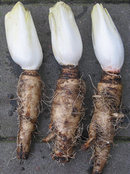 Etwas Neues genug Chicorée - Lexikon Nutzpflanzen - transgen.de @UT_16